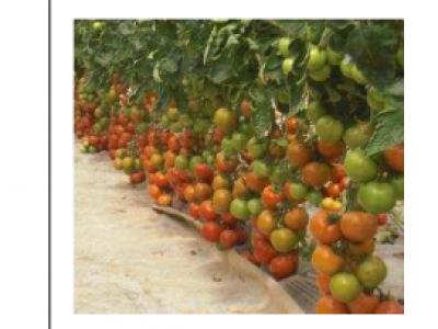 Tomato- Chonto F1