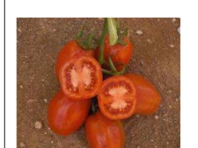 Tomato- Sandokan F1