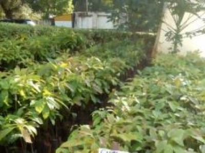 Grafted Fuerte avocado