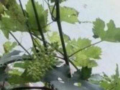 Seedless white& purple grapes
