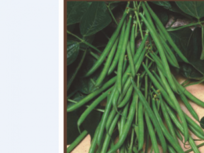 ESCALADE (FINE) - French Beans