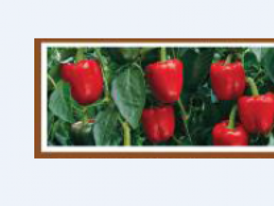 NEMALITE F1- SWEET PEPPER