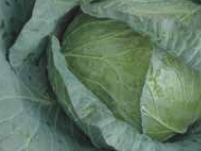 CABBAGE WINNER F1