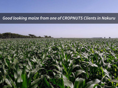 MAIZE NITROGEN TOPDRESSING & ARMY WORM UPDATE/ THINK AGRONOMY #7