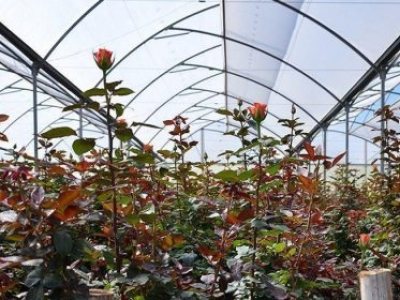 Critical Issues in Plant Nutrition in Floriculture