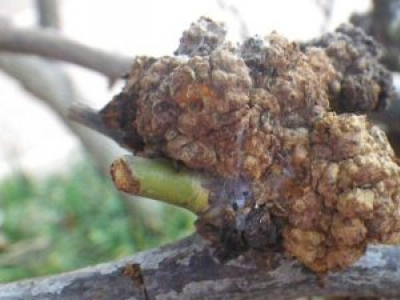 """Agrobacterium """"A rose grower's nightmare"""""""