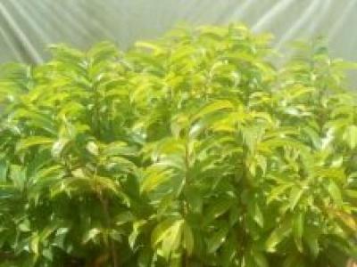 Graviola tree seedlings