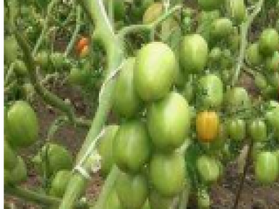 Techniques Used for Better Tomato Farming in Kenya
