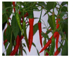 Hot Pepper - Demon F1, Kenya, Nairobi | Shambaza